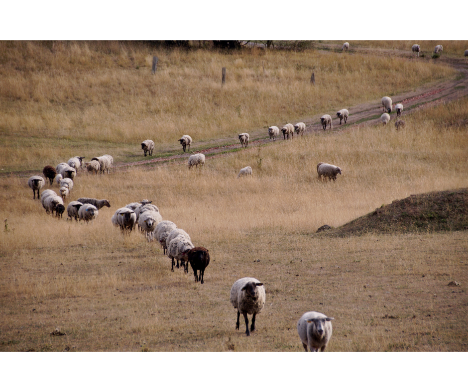 Counting Sheep…at 2am